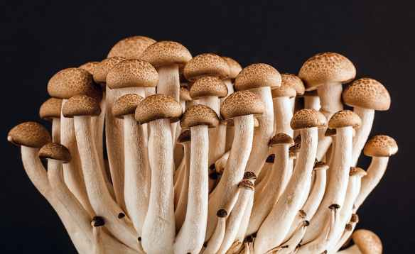 brown mushroom