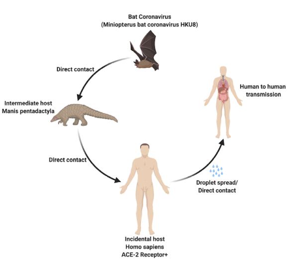 COVID-19 animal to human